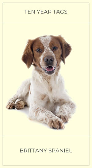 A Beautiful Brittany Spaniel