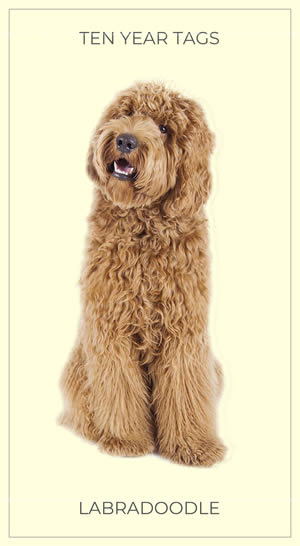 A Lovely Labradoodle