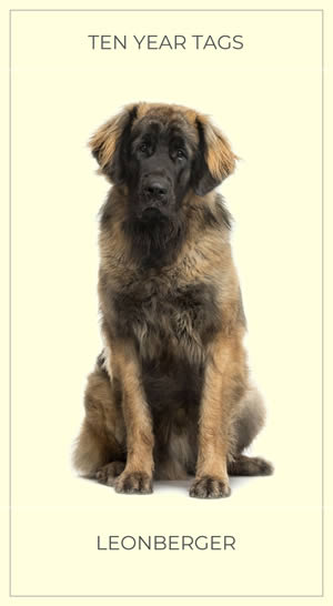 A Lovely Leonberger