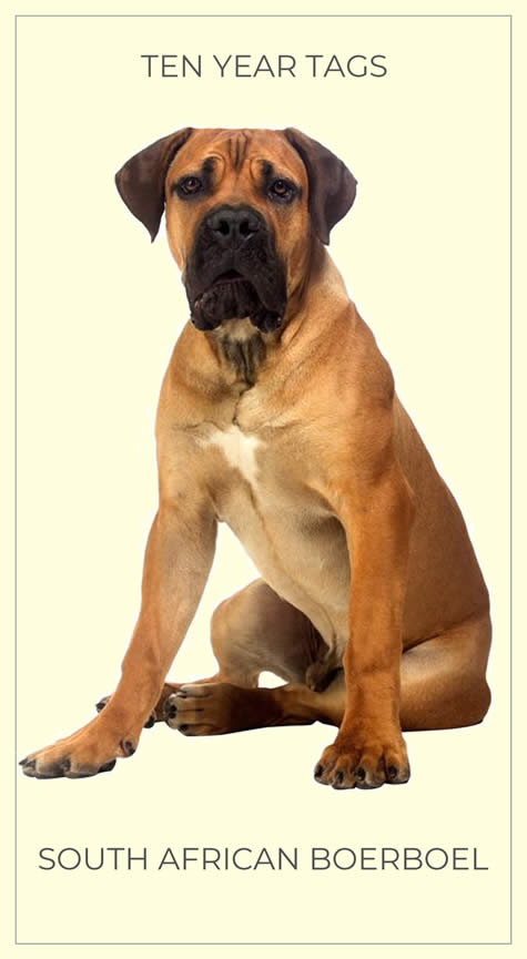 A handsome South African Boerboel